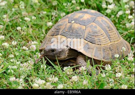eastern hermann s tortoise testudo hermanni boettgeri