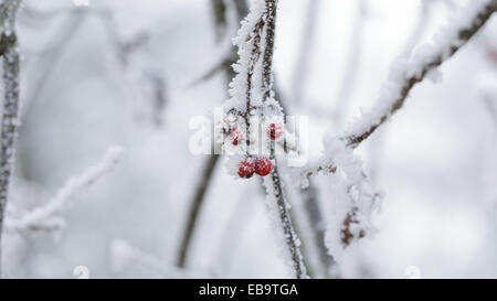 rowanberries covered with hoarfrost in the winter morning, seasonal photo - Stock Photo