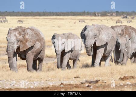 Herd of African elephants (Loxodonta africana), covered with mud, walking in dry grass, Etosha National Park, Namibia, - Stock Photo