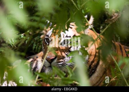 Bengal tiger (Panthera tigris tigris), portrait in thicket, India, Bandhavgarh National Park - Stock Photo