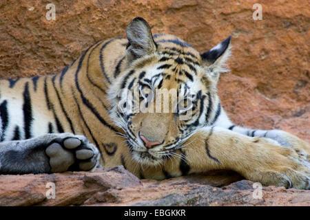 Bengal tiger (Panthera tigris tigris), portrait, India, Bandhavgarh National Park - Stock Photo