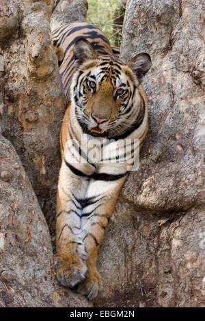 Bengal tiger (Panthera tigris tigris), on a tree, India, Bandhavgarh National Park - Stock Photo