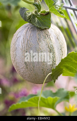 Cucumis melo. Canteloupe melon growing in the greenhouse. - Stock Photo