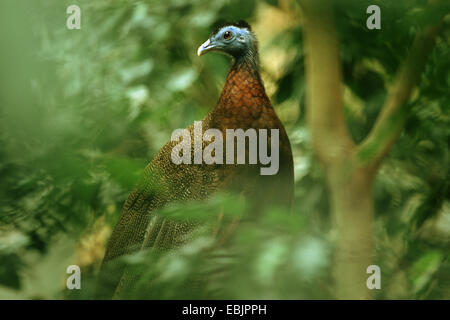 great argus pheasant (Argusianus argus), male sitting in a bush - Stock Photo