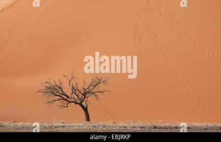 Dead tree in front of giant sand dune, Sossusvlei National Park, Namibia - Stock Photo