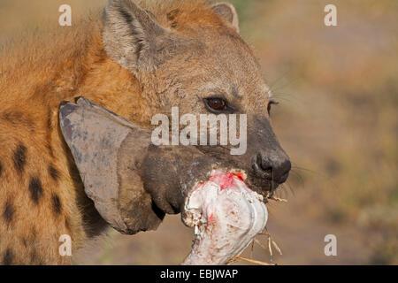 spotted hyena (Crocuta crocuta), with leg of giraffe in muzzle, Botswana, Okavango Delta - Stock Photo