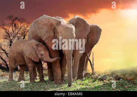 African elephant (Loxodonta africana), elephants with young animal in sunset, Kenya, Amboseli National Park - Stock Photo