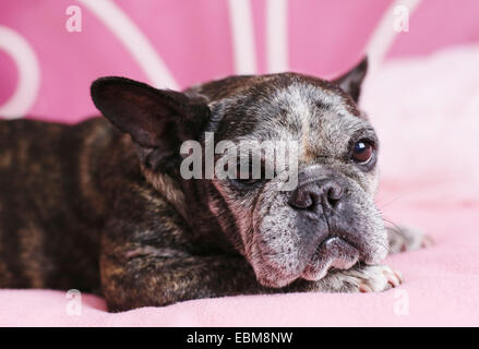 A sleepy looking old french bulldog. - Stock Photo