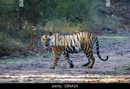Bengal tiger (Panthera tigris tigris), walking in sunshine, India, Madhya Pradesh, Bandhavgarh National Park - Stock Photo