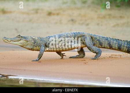 SPECTACLED CAIMAN (Caiman crocodilus) Rupununi river, Guyana, South America. - Stock Photo
