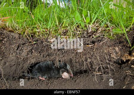 european mole talpa europaea insectivore teeth stock. Black Bedroom Furniture Sets. Home Design Ideas