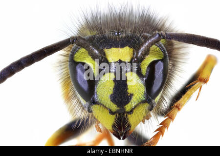 common wasp (Vespula vulgaris, Paravespula vulgaris), head of a wasp - Stock Photo