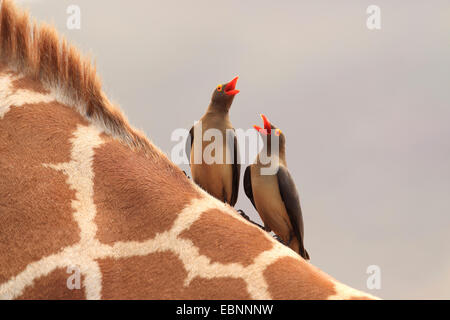 Red-billed Oxpecker (Buphagus erythrorhynchus), two oxpeckers sitting on a giraffe's neck with open bills, Kenya, - Stock Photo