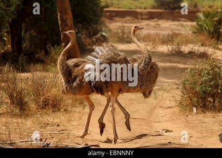 Somali Ostrich (Struthio camelus molybdophanes), two females, Kenya, Samburu National Reserve - Stock Photo