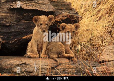 lion (Panthera leo), two lion cubs on a rock, Kenya, Samburu National Reserve - Stock Photo