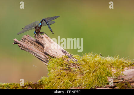 emperor dragonfly (Anax imperator), sunbathing on mossy branch, Switzerland - Stock Photo