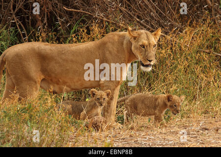 lion (Panthera leo), lioness with two lion cubs, Kenya, Samburu National Reserve - Stock Photo