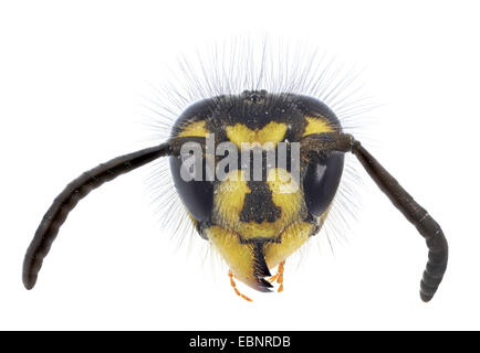 common wasp (Vespula vulgaris, Paravespula vulgaris), macro shot of the queen - Stock Photo