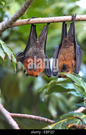 seychelles flying fox, seychelles fruit bat (Pteropus seychellensis), pair hanging in a tree, Seychelles, Mahe - Stock Photo