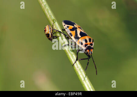 Red cabbage bug (Eurydema ornata), with larva on a blade of grass, Germany - Stock Photo