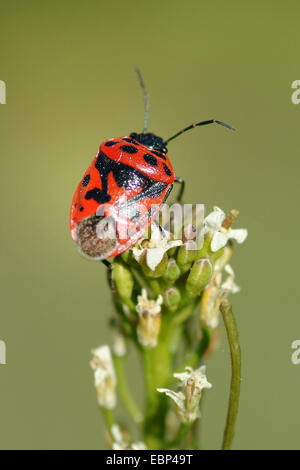 Red cabbage bug (Eurydema ornata), on an inflorescence, Germany - Stock Photo