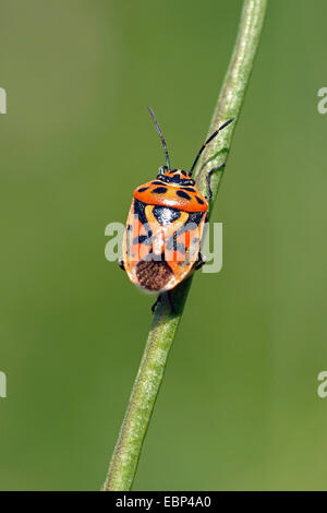 Red cabbage bug (Eurydema ornata), at a stem, Germany - Stock Photo