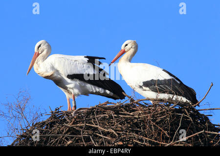 white stork (Ciconia ciconia), two white storks at the nest, Germany - Stock Photo
