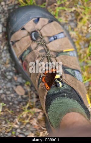 Arran brown, Ringlet butterfly (Erebia ligea), sitting on a shoe sucking sweat, Germany, Thueringen, Rhoen - Stock Photo