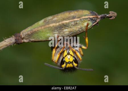 German wasp (Vespula germanica, Vespa germanica, Paravespula germanica), at a fruit, Germany, Rhineland-Palatinate - Stock Photo