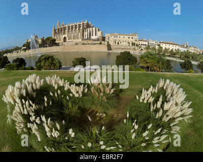 white pampas grass (Cortaderia selloana), aerial view from Parc de la Mar to La Seu Cathedral, Royal Palace of La - Stock Photo