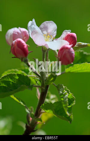 Apple tree malus domestica buds in winter stock photo for Domestica in svizzera