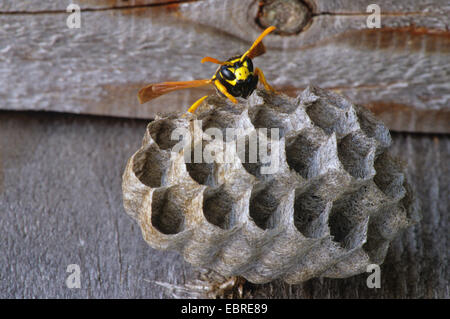 wasp nest with wasp, Italy, South Tyrol, Dolomites - Stock Photo