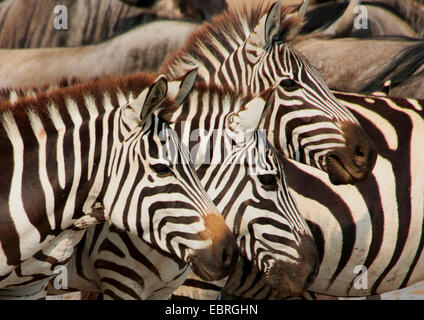 Common Zebra (Equus quagga), three Zebras, portrait, side view, Tanzania, Serengeti National Park - Stock Photo