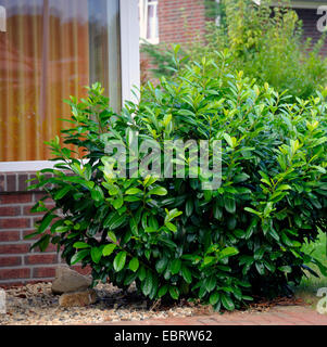 cherry laurel or laurel cherry prunus laurocerasus tree. Black Bedroom Furniture Sets. Home Design Ideas