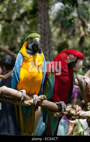 Front view of a pair of captive Macaws, Blue and Gold, and Green Wing, standing side by side on a perching in a - Stock Photo