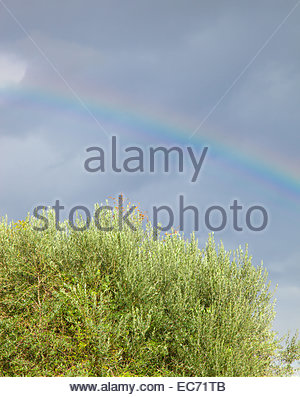 Rainbow colored with olive tree on blue sky - Stock Photo