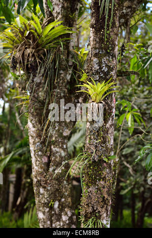 Tropical epiphyte plants growing on the tree in darjeeling west stock photo royalty free image - Flowers that grow on tree trunks ...