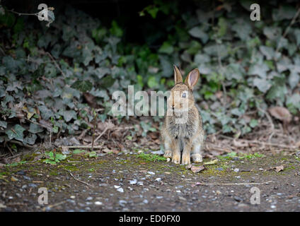 Hare sitting by ivy hedge - Stock Photo