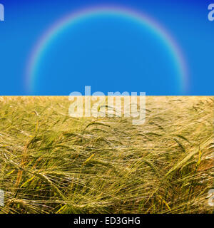 barley field in early summer and rainbow on blue sky - Stock Photo