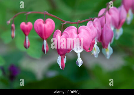 These are beautiful pink Bleeding Heart flowers. - Stock Photo