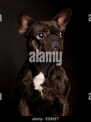 Portrait of a black thoughtful French Bulldog in a black studio background - Stock Photo