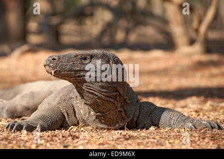Komodo dragon in the Komodo National Park on Komodo island, East Nusa Tenggara, Indonesia. - Stock Photo