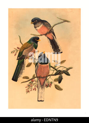 John Gould and W. Hart (British, 1804  1881 ), Trogan variegatus, probably 1836 1838, colored lithograph - Stock Photo