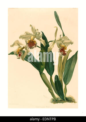 Gustav Leutzsch after Henry George Moon (German (?), active 19th century ), Cattleya Rex, lithograph - Stock Photo