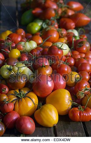 Freshly picked home grown beefsteak tomatoes - Stock Photo