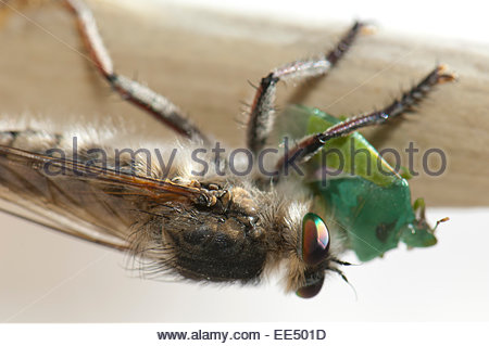 Assassin fly (Promachus latitarsatus) feeding of a bug (Hemiptera) . - Stock Photo