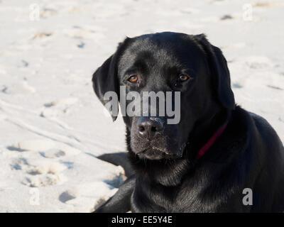 Black dog lying on back - photo#17