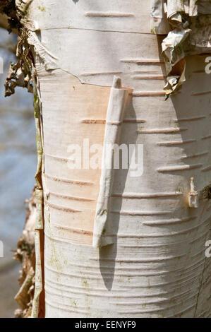 Betula utilis bark - Stock Photo