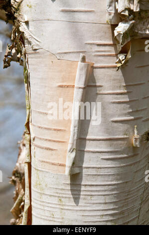 Betula utilis bark - Stockfoto