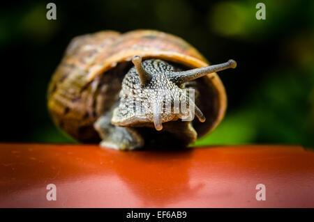 A common garden snail on a plastic plantpot - Stockfoto